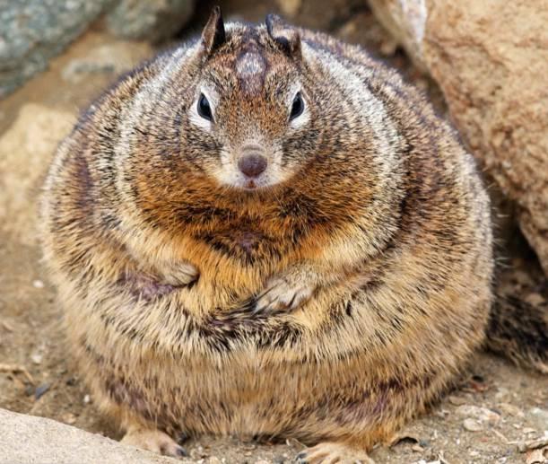 Sóc béo có cân nặng gấp đôi kể từ khi khách đến công viên cho nó ăn.