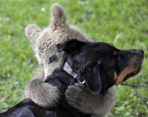 Một chú gấu nâu nhỏ thích thú chơi đùa với một chú cho ở ngôi làng Podvrh, Slovenia
