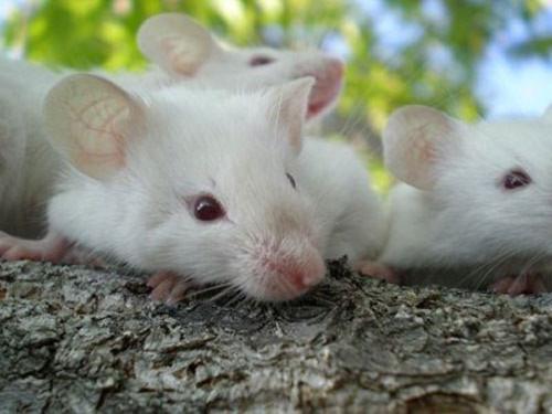 Chuột có thể chui qua lỗ to bằng chiếc bút bi