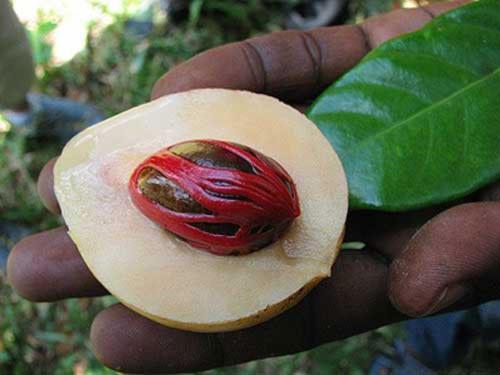 Hạt nhục đậu khấu có độc