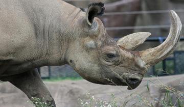 Sừng tê giác không có tác dụng chữa bệnh