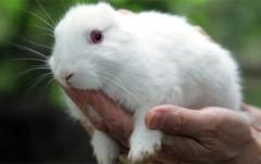 Thỏ không tai xuất hiện gần nhà máy Fukushima
