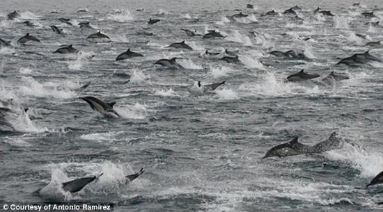 Đàn cá heo hàng trăm ngàn con tập trung ở gần bờ biển nước Mỹ. (Ảnh: Daily Mail)