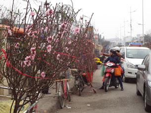 Người trồng hoa đem đào lên bán Tết ở trung tâm thành phố Hà Nội hôm 24/01/2013.