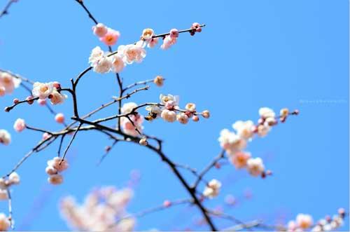 Ngắm hoa mơ giữa xứ hoa anh đào, Du lịch, hoa mo, xu so suong mu, du lich Nhat Ban, du lich, phong canh, phong cảnh dep, du lich the gipi, hoa anh dao