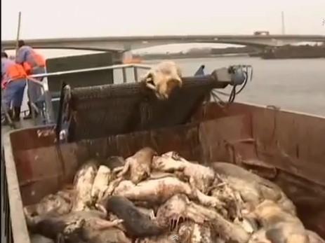 Virus được phát hiện trên 2800 con lợn chết tại Thượng Hải