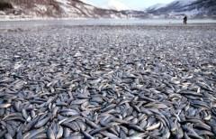 20 tấn xác cá chết trôi dạt vào bờ biển ở Na Uy chưa rõ nguyên nhân.