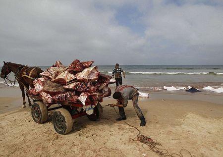 Còn đối với người dân địa phương, số cá đuối bị trôi dạt được xem là một vận may.