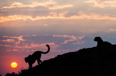 Nhiếp ảnh gia ghi lại hình ảnh ẩn tượng về hai con báo đang đi về phía mặt trời.