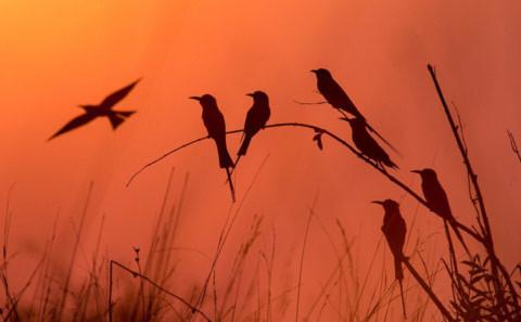 Những con chim ríu rít lúc hoàng hôn.
