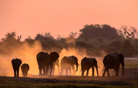 Những con voi ở khu vực gần sông Chobe, Botswana.