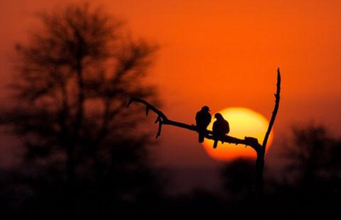 Hai con chim bồ câu.