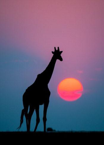 Con hươu cao cổ lúc mặt trời lặn.