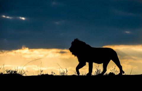 Con sư tử đang rình con mồi ở khu hoang dã của Nam Phi.