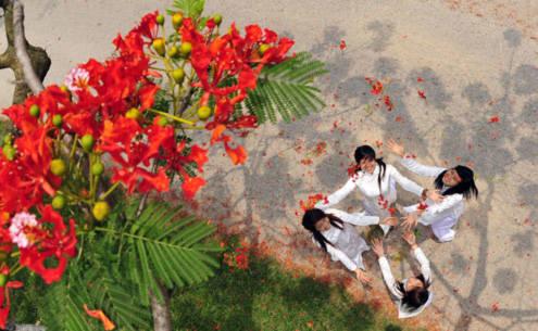hoa phượng sân trường