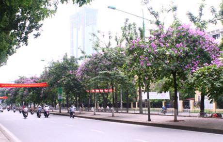 Con phố Kim Mã rợp bóng bằng lăng