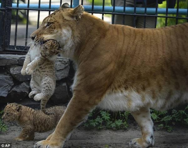 3 thú con lai tạp giữa sư tử - hổ cực kỳ hiếm có 3
