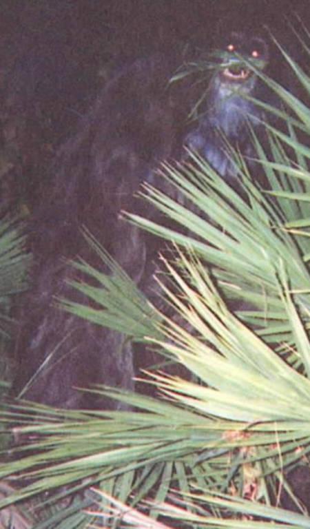 Bằng chứng mới về sinh vật Skunk Ape bí ẩn 2