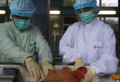 Nhân viên y tế xét nghiệm máu một con gà ở Hong Kong, ngàu 11 tháng 4, 2013.