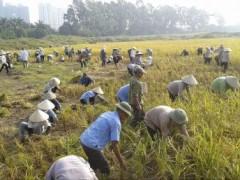 Nông dân Văn Giang, tỉnh Hưng Yên đang gặt lúa (REUTERS /Mua Xuan)