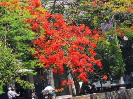 Ta có thể dễ dàng tìm thấy những tán phượng rực đỏ một màu trên rất nhiều con đường phố Huế