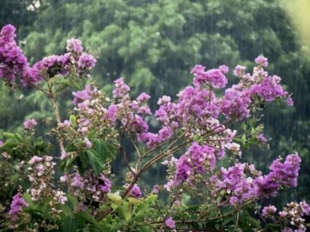 Bằng lăng tím buồn trong mưa xứ Huế