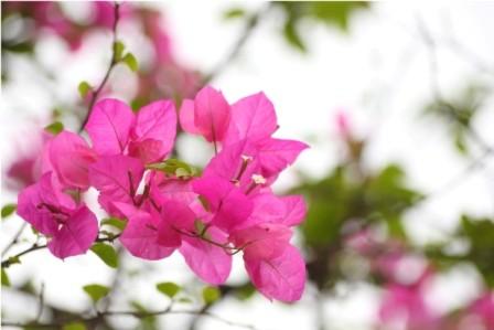 Cánh hoa giấy mỏng tang, dịu dàng khoe sắc trong gió