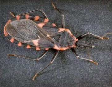 Theo các nhà khoa học, loại bọ xít hút máu người thường sống ở vùng trung du. Ở Việt Nam, loài côn trùng nguy hiểm này từng xuất hiện tại các thành phố lớn như: Hà Nội, Hải Phòng và Đà Nẵng.