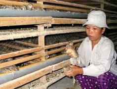Chủ nhân trại nuôi chim cút phải thường xuyên kiểm tra tình hình sức khỏe của đàn chim Courtesy laodong.com