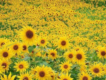 Đẹp hút hồn những cánh đồng hoa - 11