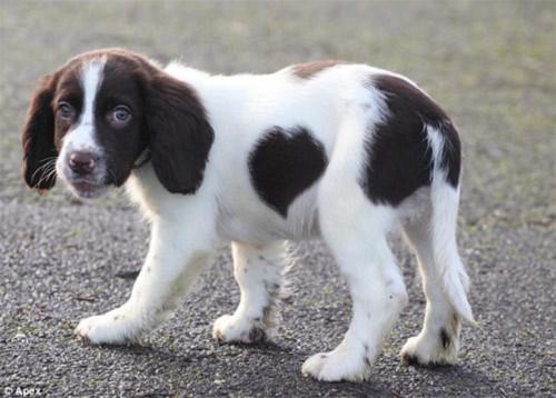 Chú chó có đốm lông hình trái tim - 1