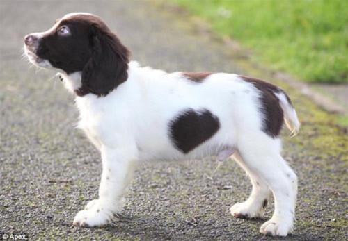 Chú chó có đốm lông hình trái tim - 4