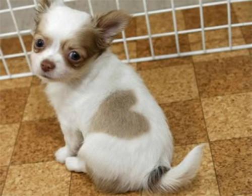Chú chó có đốm lông hình trái tim - 6