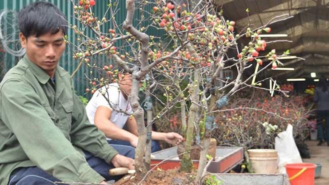 Mai đỏ được nhân viên cửa hàng hoa trồng vào chậu.