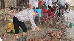 Chợ gia cầm sống là nơi có nguy cơ lưu trữ và phát tán virus H7N9 lớn nhất