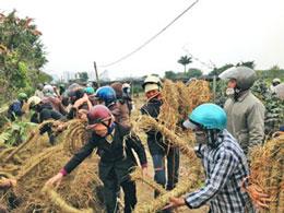 Dân Văn Giang bện rơm làm khiên chắn chống đạn hoa cải của bọn xã hội đen.