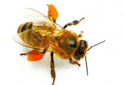 Phấn ong chứa đến 22 loại axit amin trong đó có 8 loại axit amin thiết yếu và 27 loại khoáng chất cùng đầy đủ vitamin, hormone và axít béo. (photos.com)