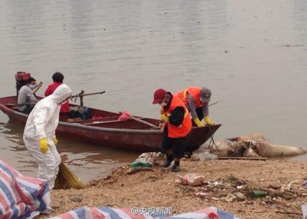 Năm nhân viên của Phòng bảo vệ môi trường địa phương đang cố kéo xác lợn khỏi sông Cống Giang ở tỉnh Giang Tây, ngày 15 tháng Ba 2014. Lợn chết nổi trên sông lại lặp lại giống năm ngoái xảy ra ở Thượng Hải.(Weibo.com)