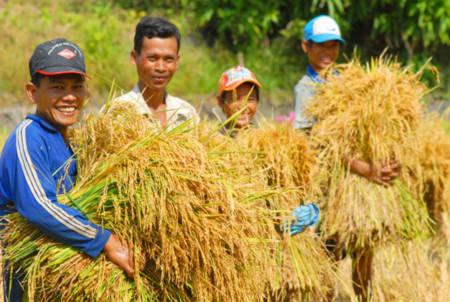 Có hợp đồng xuất khẩu mới, nông dân kỳ vọng giá lúa sẽ tăng lên.