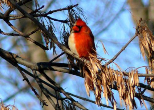 Chim hồng y lưỡng tính mang thân hình nửa đực, nửa cái