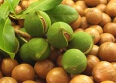 Hạt mắc ca có hàm lượng dầu béo lên tới 78%
