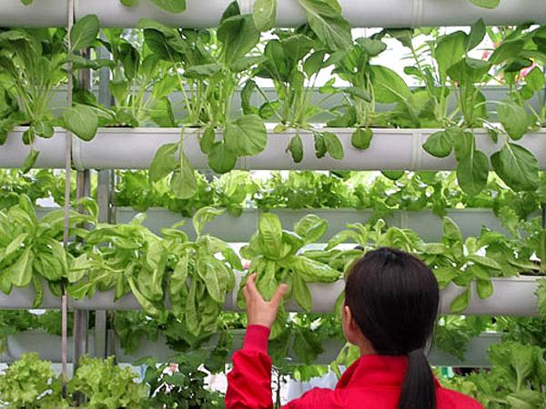 Với mức giá cao gấp 4-5 lần giá rau bình thường, rau hữu cơ được trồng đặc biệt không phân bón hóa học, không thuốc bảo vệ thực vật, không chất kích thích, không chất bảo quản và không biến đổi gen... Nguồn NĐT