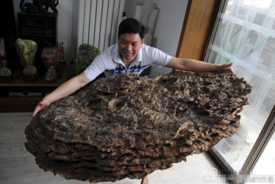 Phát hiện nấm Vân Chi siêu lớn, quý hiếm tại Trung Quốc