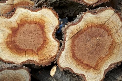 """Bằng chứng từ những vân gỗ cho thấy, cháy rừng là nguyên nhân xảy ra """"Ngày đen tối"""" ở New England. (Ảnh: Shutterstock)"""