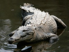 1024px-Crocodylus_acutus_mexico_02-edit1-1024x768