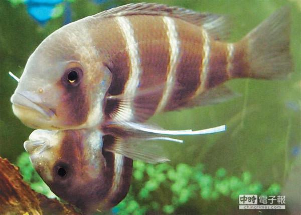Cặp cá liền thân hiếm ở Đài Loan
