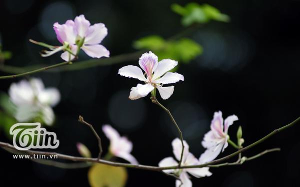 hoa ban 7