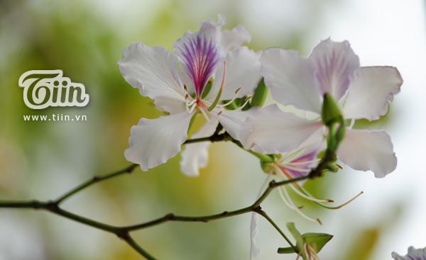 hoa ban 8