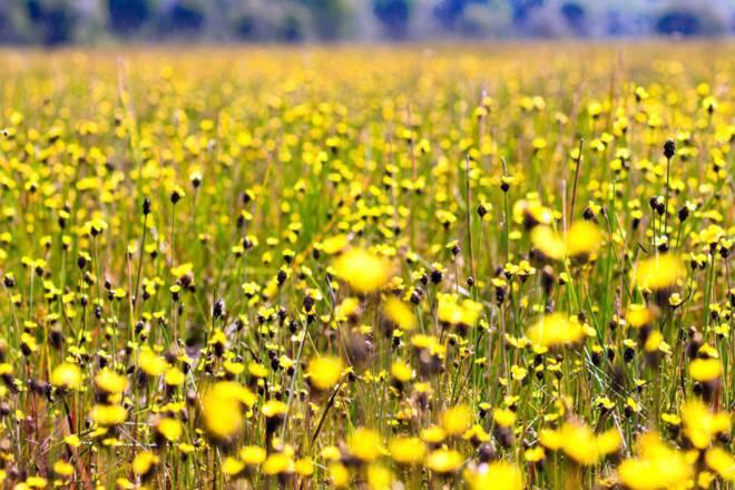 Thảm hoa vàng khổng lồ ở Vườn quốc gia Tràm Chim - 10