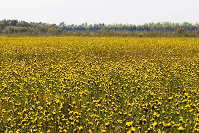 Thảm hoa vàng khổng lồ ở Vườn quốc gia Tràm Chim - 12